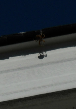 Spider near roof