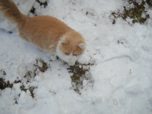Marm in snow