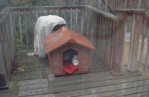 Marm in doghouse in rain
