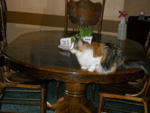 Cali on dining-room table
